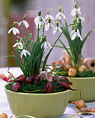 Galanthus (snowdrop) in the nest