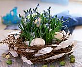 Blue Magic (Grape Hyacinth)