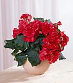 Begonia elatior Lorraine begonia