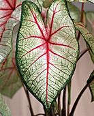 Caladium bicolor 'White Queen' (Buntblatt)