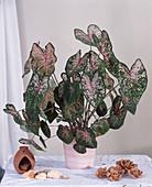 CALADIUM Bicolor-HYBR.