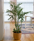 Chamaedorea seifrizii (bamboo palm)