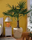 Chamaerops humilis (dwarf palm) in front of yellow wall