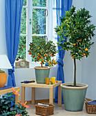 Citrus in the room-Fortunella Kumquat