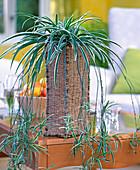 Chlorophytum comosum / Grünlilie