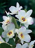 Dendrobium X nobile