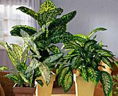 Dieffenbachia hybrids 'Vesuvius',