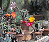 Echinopsis hybrids on the table