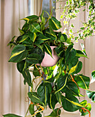 Philodendron scandens 'Brasil' (Climbing Philodendron)