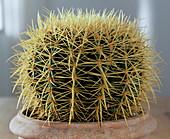 Echinocactus grusonii mother-in-law chair