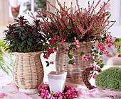 Euphorbia, Calluna vulgaris 'Marleen'