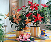 Hibiscus rosa-chinensis' Cairo Rosa ', Royal Apricot'