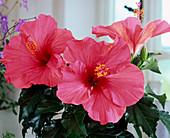 Hibiscus rosa-sinensis 'Rosario Rosa'