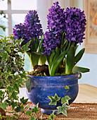 Hyacinthus '' Delft Blue ''