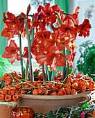 Hippeastrum hybrids, Amaryllis, Physalis (Lampion flower)