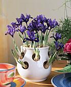 Iris reticulata (dwarf beardless iris) in crocus pot