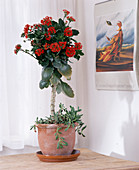Kalanchoe blossfeldiana grown as a stems