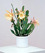 Epiphyllum hybrids,