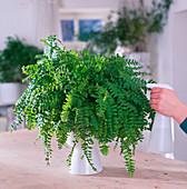 Nephrolepis cordifolia 'Dallas Jewel'