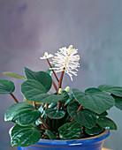 Peperomia flower, Peperomia fraseri