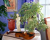 Pelargonium graveolens 'Lady Plymouth' (Scented Geranium)