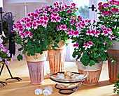 Pelargonium hybrid tip top series