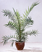 Phoenix canariensis (Real Date Palm)