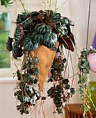Saxifraga stolonifera (Hanging Saxifrage, Jewish Beard)