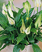 Spathiphyllum (Wallisii)