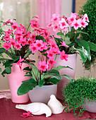 Streptocarpus hybrid