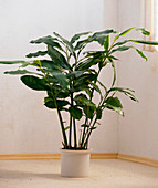 Elettaria cardamomum syn. Amomum cinnamomum
