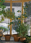 Calamondin orange, Citrus limon