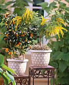 Fortunella japonica (Kumquat), Acacia dealbata (mimosa)
