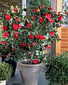 Camellia japonica 'Ascona'