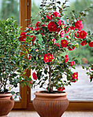 Camellia 'Blood Of China'