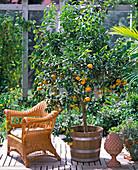 Citrus hybrids (tangerines)