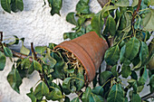 Clay pot for earwigs as shelter