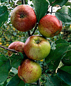 Apple 'Hauxapfel'