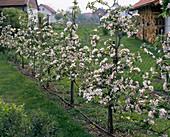 Apple spindle bushes as a trellis