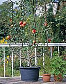 Trellis apple double U-shape in bucket