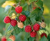 Rubus 'basket filler' (raspberries)