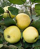 Apple 'Landsberger Renette'