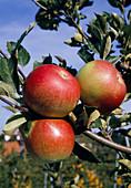 'Idared' apple