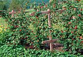 Raspberry 'sanibelle'