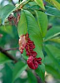 Curling disease on Prunus persica (peach)