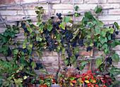Vitis vinifera (blue grape) on the trellis