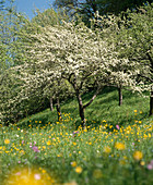 Blossoming apple tree in flower meadow