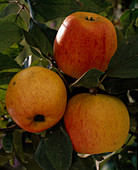 Apple 'Red Goldparmäne'