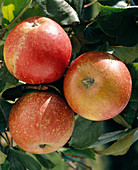Apple 'Cox Orange Renette'