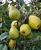 Pear 'Delicious of Charneux'